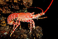 Natal Spiny Lobster (Palinurus delagoa), South Africa.