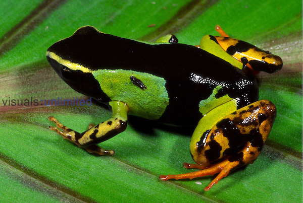 Painted Mantella frog (Mantella madagascariensis)
