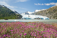 Dwarf Fireweed (Epilobium latifolium) lines the shore of Portage Lake with Portage Glacier in the background in the Chugach National Forest of Portage Valley in Southcentral Alaska. Summer. Afternoon.