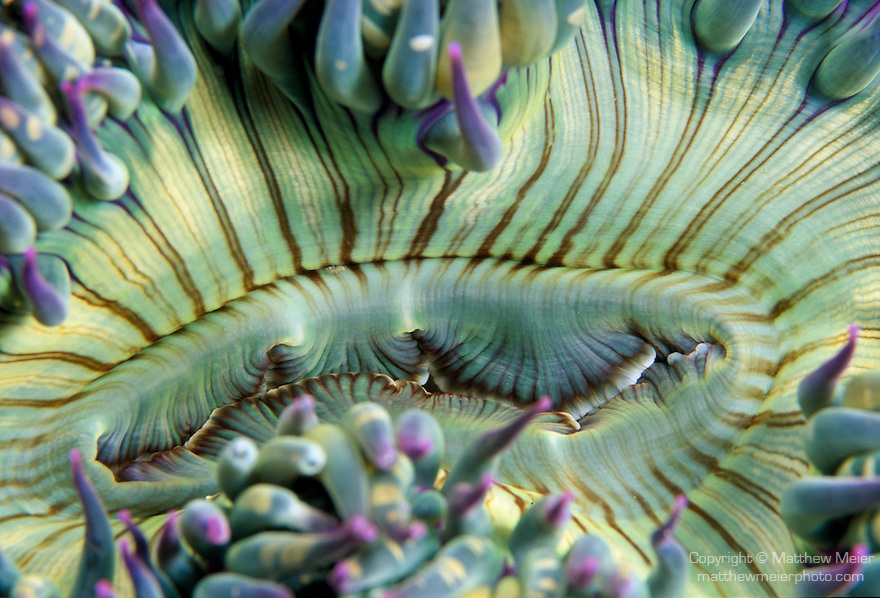 Santa Cruz Island, Channel Islands National Park and National Marine Sanctuary, California; detail view of a Green Anemone (Anthopleura sola)