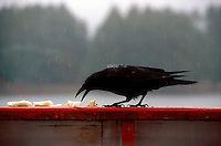 BIRDS<br /> Raven On A Ledge In The Rain Pecking At Food