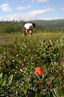 Rubus chamaemorus, cloudberries. Multer.