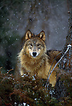 I have had the opportunity to walk through forest and tundra many times before, feeling the presence of wolves and turning around to get a fleeting glimpse of these wanderers as they observe me through the trees or over a low rise.  Wolves will watch from a distance, always completely aware of the environment around them.