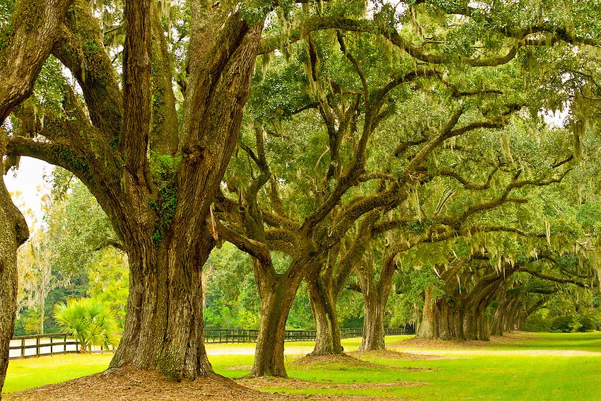 Live oak trees with Spanish Moss line the drive into the Boone Hall Plantation, Charleston, South Carolina