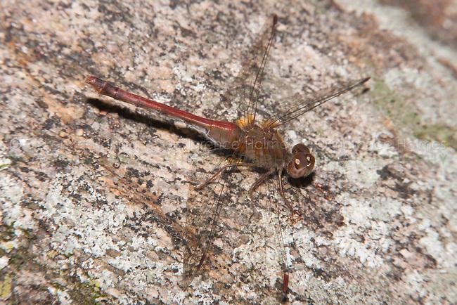 Autumn Meadowhawk (Sympetrum vicinum) Dragonfly - Male, West Harrison, Westchester County, New York