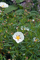 Cistus x dansereaui shrub in flower