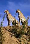 Africa, East Africa, Tanzania, Serengeti. A pair of cheetahs watch over the Serengeti plains.