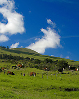 Cattle graze in the lush green pastures of an upcountry Maui ranch(farm).
