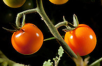 "The first fruit of the year in our garden: two deliciously orange cherry tomatoes still ""on the vine"" (attached to the plant).  This plant is a ""sun sugar"" variety of tomato (Solanum lycopersicum) that we purchased from Orange Coast College's ornamental horticulture department.  This picture was taken in the field using studio lighting (off camera flashes) to create a more dramatic look."