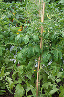 Tomatoes tied to single stake system in vegetable garden