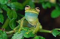 Glass Frog (Cochranella truebae), male calling vocal sac inflated, Manu National Park, Peru