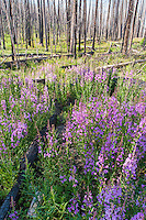 Fireweed bloom in a recently burned area of Yellowstone National Park