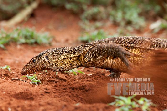 Nile Monitor Lizard Burrow
