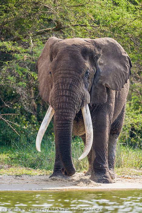 African Elephant with huge tusks, Queen Elizabeth National Park, Uganda, East Africa