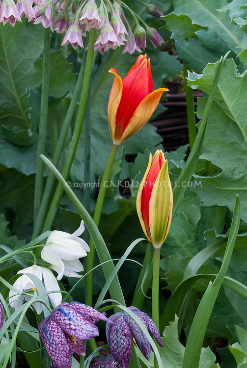Tulip species Tulipa sprengeri AGM about to open, red flowers, with Fritillaria meleagris checkered fritillary spring flowering bulbs and Nectaroscordum, mixture