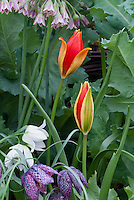 Tulip species Tulipa sprengeri AGM about to open, red flowers, with Fritillaria meleagris checkered fritillary spring flowering bulbs and Nectoscordum, mixture