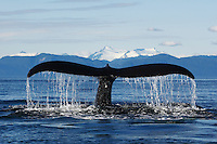 pu50782-D. Humpback Whale (Megaptera novaeangliae) tail flukes. Alaska, USA, Pacific Ocean..Photo Copyright © Brandon Cole. All rights reserved worldwide.  www.brandoncole.com..This photo is NOT free. It is NOT in the public domain. This photo is a Copyrighted Work, registered with the US Copyright Office. .Rights to reproduction of photograph granted only upon payment in full of agreed upon licensing fee. Any use of this photo prior to such payment is an infringement of copyright and punishable by fines up to  $150,000 USD...Brandon Cole.MARINE PHOTOGRAPHY.http://www.brandoncole.com.email: brandoncole@msn.com.4917 N. Boeing Rd..Spokane Valley, WA  99206  USA.tel: 509-535-3489
