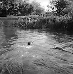 The Valley Minkhounds..Whipper-in, Simon Haines, swims across the river Kennet following the hounds who are in pursuit of their quarry. Near Aldermaston, Berkshire. ..Hunting with Hounds / Mansion Editions (isbn 0-9542233-1-4) copyright Homer Sykes. +44 (0) 20-8542-7083. &lt; www.mansioneditions.com &gt;..