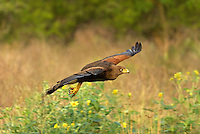 541950089 a wild harris hawk parabuteo unicinctus in flight on a private ranch in the rio grande valley of south texas