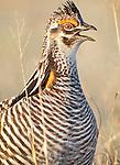 Greater Prairie Chicken male, Tympanuchus cupido, in lek near Grand Island, Nebraska.