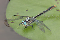 Lilypad Clubtail (Arigomphus furcifer) Dragonfly - Male on a lilypad, Promised Land State Park, Greentown, Pike County, Pennsylvania