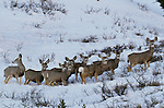Black-tailed or mule deer herd, San Juan Mountains, Colorado, USA
