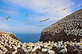 Bass Rock in Scotland firth of Forth. Norther Gannets (Sula bassana) jostle for space to nest, some on eggs, others building. Constantly there are birds coming and going, fighting, squabbling, mating, steal nesting material etc. Coast of Scotland is on the horizon.