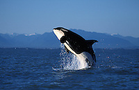 ns9. Orca (Orcinus orca) breaching. British Columbia, Canada, Pacific Ocean. .Photo Copyright © Brandon Cole. All rights reserved worldwide.  www.brandoncole.com..This photo is NOT free. It is NOT in the public domain. This photo is a Copyrighted Work, registered with the US Copyright Office. .Rights to reproduction of photograph granted only upon payment in full of agreed upon licensing fee. Any use of this photo prior to such payment is an infringement of copyright and punishable by fines up to  $150,000 USD...Brandon Cole.MARINE PHOTOGRAPHY.http://www.brandoncole.com.email: brandoncole@msn.com.4917 N. Boeing Rd..Spokane Valley, WA  99206  USA.tel: 509-535-3489