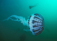 Purple-striped jelly. (Chrysaora colorata) in Monterey Bay, California.