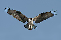 Osprey Hovering