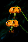 Idaho.  Tiger Lily (Lilium columbianum) perennial has large, showy, bright orange flowers with spots.