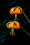 Idaho.  Tiger Lily (Lilium columbianum) perennial has large, showy, bright orange flowers with spots.