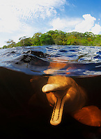 RB0290-D. Amazon River Dolphin (Inia geoffrensis), also called Boto or Pink River Dolphin. Split &ldquo;over under&rdquo; view showing playful dolphin with mouth open. Rio Negro, Brazil, South America.<br /> Photo Copyright &copy; Brandon Cole. All rights reserved worldwide.  www.brandoncole.com
