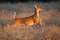 Whitetail deer, doe running in Texas