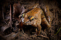 Giant River Frog {Limnonectes leporinus} on muddy riverbank at night in lowland dipterocarp rainforest. Danum Valley, Sabah, Borneo, Malaysia.
