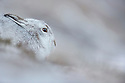 Mountain Hare (Lepus timidus) on snow, Cairngorms National Park, Scotland. January.