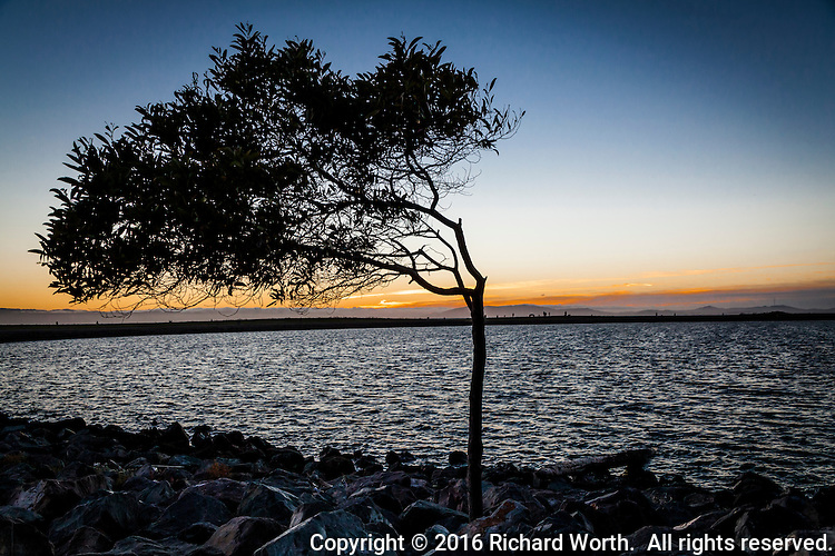 A wind defined tree along the rocky shoreline at San Leandro Marina Park against a quiet sunset background.