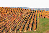 Vineyard in autumn.<br />
