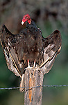 Turkey vulture, Texas