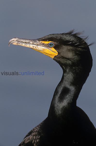 Double-crested Cormorant head (Phalacrocorax auritus), North America....