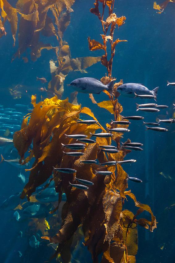 Kelp Forest, Monterey Bay Aquarium, Monterey County, California USA