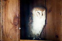 A dozing Barn owl, photographed in its enclosure at the Sulfur Creek Nature Center where injured wildlife are treated and, when possible, returned to the wild.