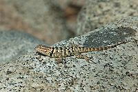 442800011 a wild yellow-backed spiny lizard sceloparus uniformis perches on a rock along chalk cliffs road bishop california united states