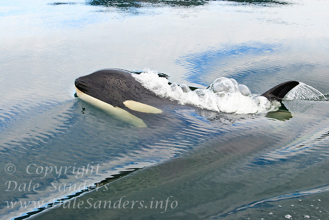 luna the orca whale Leaving luna alone commentary by paul watsonsea shepherd conservation society once again, well meaning humans are rallying to save a whale the only proble.