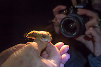 Harvest mouse (Micromys minutus) survey after dark. Surrey, UK.