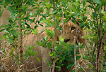 A male lion peers out from foliage, South Africa