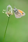 Small heath butterfly, Coenoympha pamphilus, Resting on grass seed head, Lesvos Island Greece , lesbos
