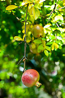 Pomegranate, grenade, growing on fruit tree on Ile de Re, France