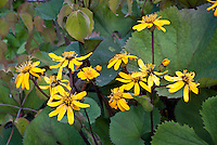 Ligularia dentata, in yellow flowers, damp moist water margins garden plant in bloom