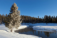 Gibbon River and frosty pine tree in Norris Meadows during winter